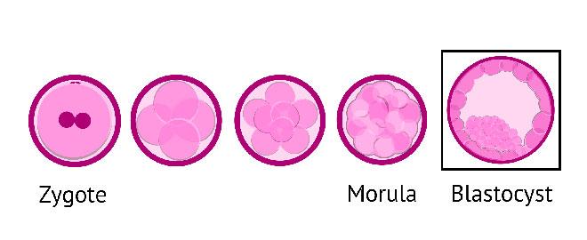 инфографика развития эмбриона человека за 5 дней до стадии бластоцисты