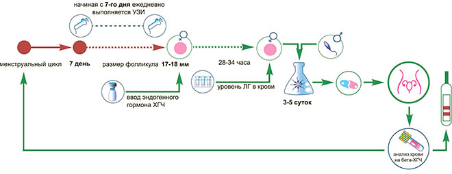 инфографика протокола ЭКО в естетственном цикле без стимуляции яичников
