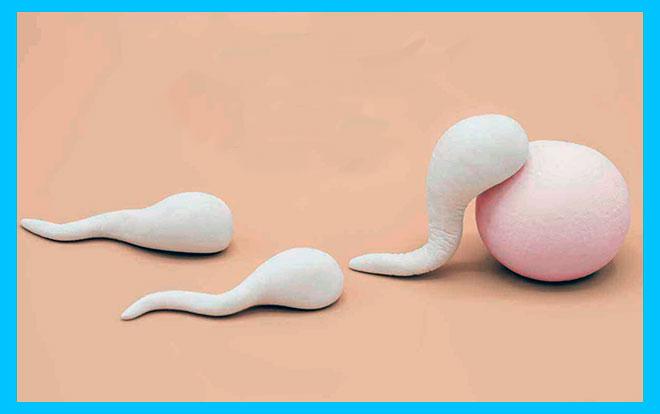 яйцеклетка и сперматозоиды из пластилина