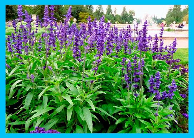 куст шалфея лекарственного с фиолетовыми цветами