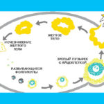 Старое желтое тело с прошлого цикла: почему и что делать