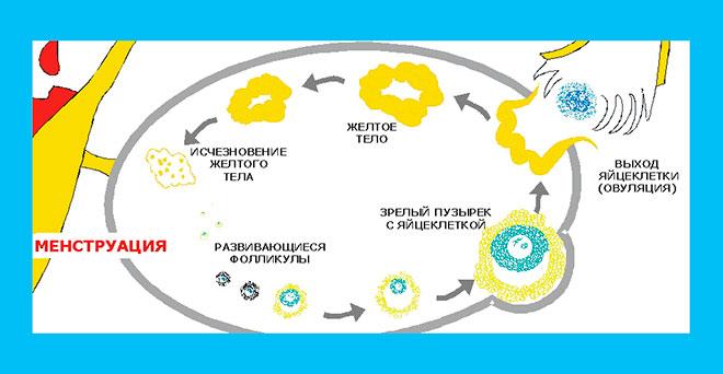схема развития желтого тела в менструальном цикле