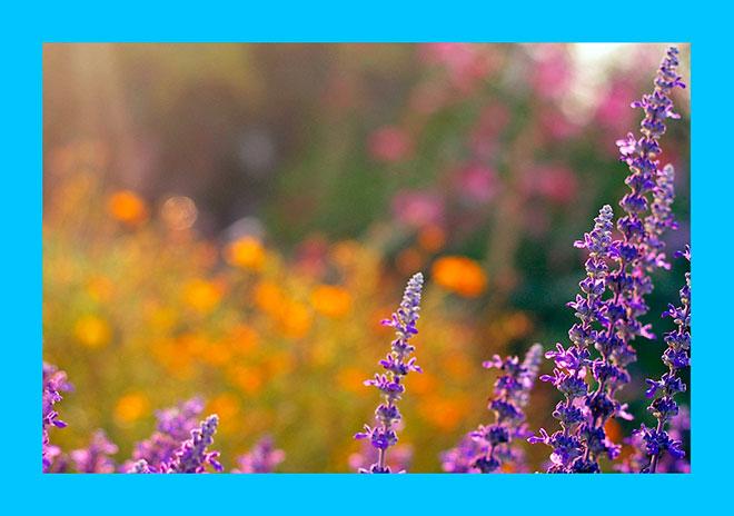 цветки шалфея на солнце