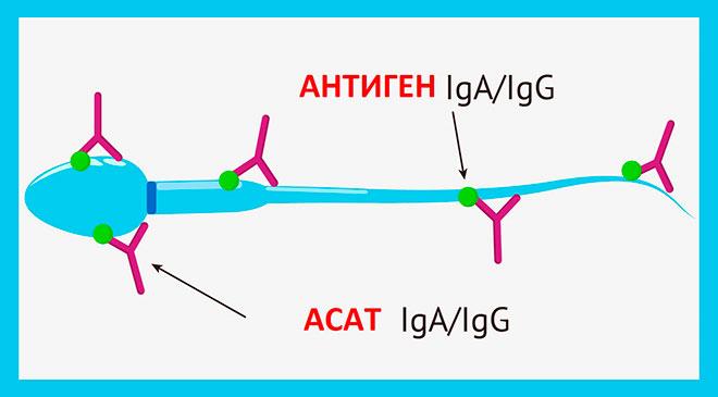 нарисованные антиспермальные антитела атакующие сперматозоид