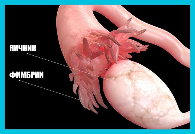 графический рисунок маточной трубы с фимбриями и яичник