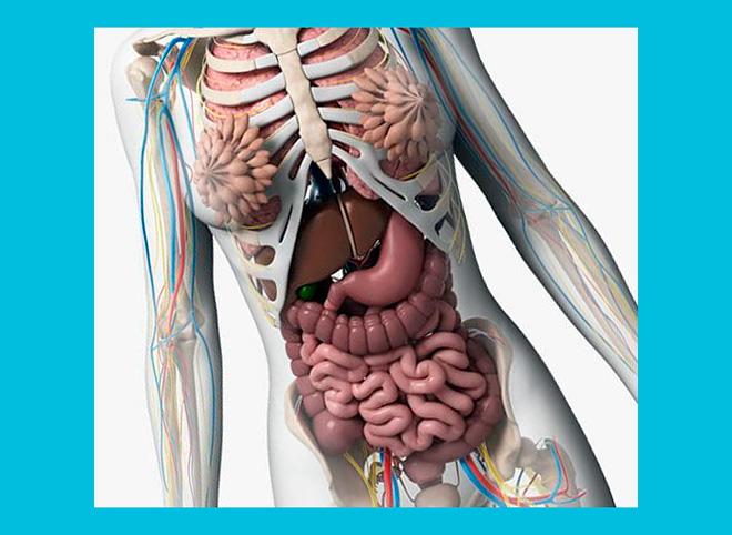 органы женского тела