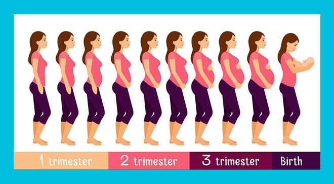 инфографика беременности человека по триместрам